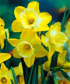 Narcissus Hillstar - Jonquilla Narcissi - Narcissi - Flower Bulb Index