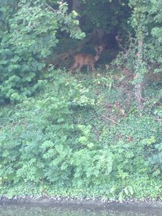 Deer, spotted from canal boat