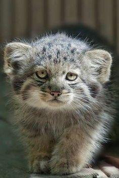 =(^x^)= The Pallas cat or Manul, kitten Felis Manul, Manul Cat, Beautiful Cats, Animals Beautiful, Cute Baby Animals, Animals And Pets, Pallas's Cat, Small Wild Cats, Rare Cats