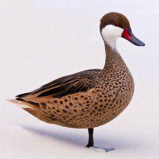Bahama Pintail Ducks