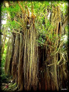 "Siquijor - ""Balete Tree"" - Travel Blogs and More - The Bewitching Balete Tree     Just a drive going through another place, we dropped by in a century-old Balete Tree. Strangler Fig Tree, as its English counterpart, attracts travelers to stop in a moment."