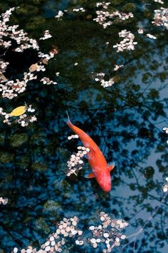 Koi and Cherry Blossoms, Japan
