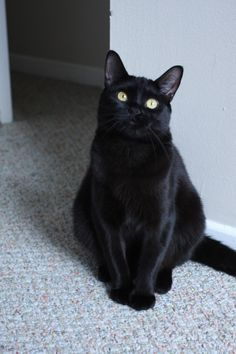Cindy ~ Black cats are good luck Pretty Cats, Beautiful Cats, I Love Cats, Crazy Cats, White Cats, Black Cats, Black Kitty, Baby Animals, Cute Animals