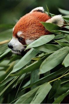 Red Panda!!!!!!