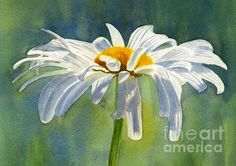 Shasta Daisy Blossom With Blue Background Print By Sharon Freeman