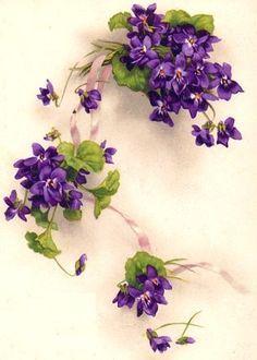 African Violet Flower Drawing 바이올렛(african violet)