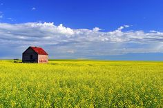 Canola Field, Alberta (There is nothing more beautiful to me than prairie fields. Scenery Pictures, Nature Pictures, Landscape Photography, Nature Photography, Travel Photography, Canola Field, Let's Make Art, Alberta Canada, Pictures To Paint