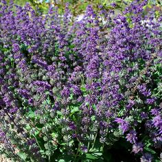 Salvia verticillata - 'Purple Rain' (Sage)
