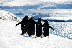 circle of friends- Adelie penguins