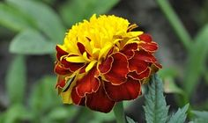 Cravo, Planta, Flor, Vermelho Amarelo