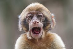 Baby Berberaap van dit jaar (maart 2013) #apenheul