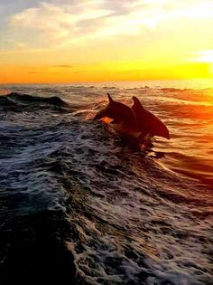 Dolphins in the surf at Clearwater Beach, Fka. Sea And Ocean, Ocean Beach, Ocean Waves, Clearwater Beach, All Nature, Tier Fotos, Fauna, Ocean Life, Beautiful Sunset
