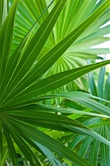 mexico palm fronds yucatan