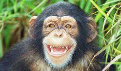 Image result for chimpanzee smiling Baby Gorillas, Chimpanzee, Animal Kingdom, Monkey, Image, Animals, Jumpsuit, Animales, Animaux