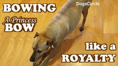 VIDEO, click to WATCH. Royalty Dog Bowing - Princess Bow Queen Highness - Dogs Tricks Training - Video by DogsCircle .. We have DOG VIDEOS at http://www.youtube.com/watch?v=xTCLSvHENms&list=PLbTyrpn5TL2sIeKkOXV4VPwhkYYdBaAPq&feature=share