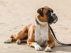 Der Boxer, Boxer Dogs, Boxers, Forever Puppy, Funny Dog Pictures, Funny Dogs, Puppies, Animals, Rest