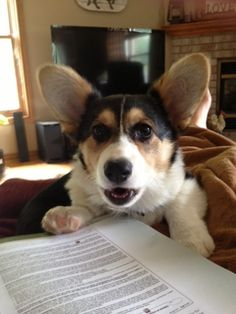 This little corgi looks upset that the book is getting more attention then they are.  Love the dark tri's.  Z