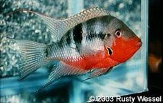 Scientific Name: Thorichthys meeki Common Name(s): Firemouth Cichlid, Fire Mouth