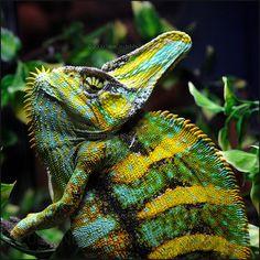 Veiled chameleon | Veiled Chameleon (Chamaeleo calyptratus)