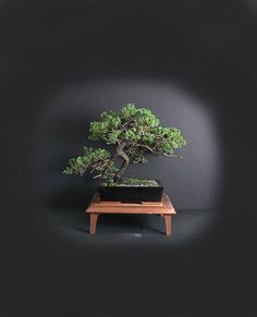 You are looking at a mature Japanese dwarf garden juniper. It is presented in a glazed bonsai container in a semi cascade style. This tree is approximately 25-20 years old with nice curvature, jin, nebari and deep relief texture. You will get exactly the tree you see in the pictures.