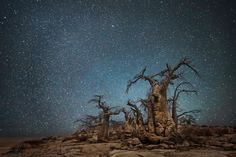 """""""Ara"""" : constellation de l'Autel - Arbres les plus vieux d'Afrique"""
