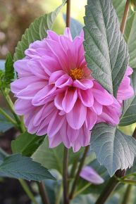 practically care free flowers as well as beautiful amp show stoppers, flowers, gardening, perennials, Dahlia easiy grown by tubers They multiply each year and bloom til late fall to frost