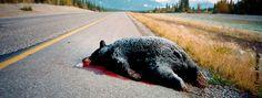 Wildlife on the Road | www.bearsmart.com