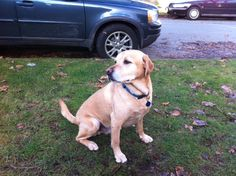Say hello to new Release the Hounds dog, Russell! Russell is a very athletic yellow lab who is looking for an adventure hike where he can socialize with other dogs. #vancouver #dog #walking