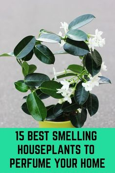 15 Best Smelling Houseplants To Perfume Your Home Plants do so much for us and ask for so little in return. Simply being in their presence confers a broad range of benefits – when we are around them the air is cleaner and Best Indoor Plants, Indoor Garden, Garden Plants, Outdoor Gardens, Fruit Garden, Jasmine Plant Indoor, Flowering House Plants, Patio Plants, Landscaping Plants