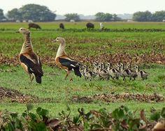 Pato carretero, Ganso del Orinoco [Orinoco Goose] (Neochen jubata) (♂ + ♀…
