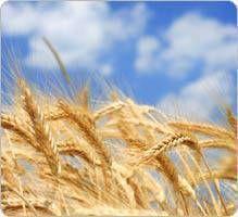 Pour mémoriser 5 des 7 céréales contenant du gluten, on retient le mot « sabot », qui correspond à la première lettre de leur nom : S : Seigle A : Avoine B : Blé O : Orge T : Triticale