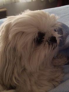 Lizzy ❤️ Peek A Poo, Dogs, Cute, Animals, Animales, Animaux, Doggies, Kawaii, Animal