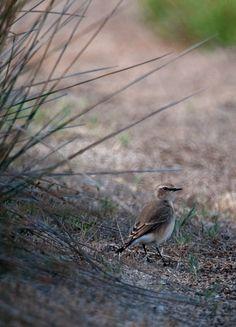 #guidofrilli - Nikon D300 + Tamron 150/600 - f5/6.3 - 1/2500 sec. f/6.3 ISO-400 600mm a 20m. - photo Guido Frilli - Sinis Desert Stagno di Mistras - culbianco (Oenanthe oenanthe (Linnaeus, 1758)) è un uccello passeriforme della famiglia dei Muscicapidi. - alle spalle un cespuglio di Giunco spinoso Juncus acutus