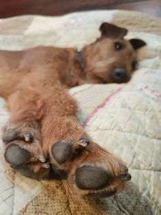What long legs you have! Caoimhe the Irish Terrier Princess @ 15 months Fox Terriers, Wire Fox Terrier, Irish Terrier, Famous Stars, Pet Id, Long Legs, Best Friends, Creatures, Puppies