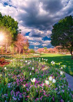 Tulips and Petunias, Dallas Arboretum and Botanical Garden, Texas