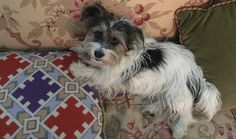 Lost Dog - Jack Russell Terrier in Southampton, NYShort URL:  Pet Name: Lucy  Date Lost:	February 06, 2016 Breed:	Jack Russell Terrier Gender:	Female Age:	6 Color:	White And Black Last Seen:	277 Toylsome Lane Southampton, NY 11968 Description:	Lucy is a broken coat (long and short haired) Jack Russell Terrier. She is very sweet. She might still be wearing her blue and red collar.