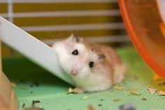 Robo hamster. He looks so squishy!!