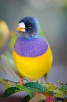coloruja bird