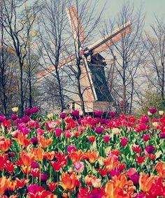 A naturally lush flowers garden in the midst of town  #holland #netherlands #amsterdam #love #flowergarden #tulips #windmill #likes #eurotrip by darvkay