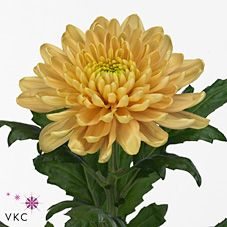 Chrysanthemum Blooms Rossano Orange are an orange disbudded, single headed cut flower variety. 70cm tall & wholesaled in 10 stem wraps. May Flowers, Amazing Flowers, Fresh Flowers, Colorful Flowers, Wedding Flower Arrangements, Wedding Flowers, Yellow Chrysanthemum, Florist Supplies, Chrysanthemums