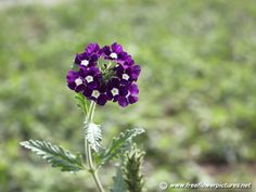 violet flowers wedding, home decor garden, small types of purple flower names plants pictures of dark light royal flowers Purple Flower Names, Types Of Purple Flowers, Purple Wedding Flowers, Exotic Flowers, My Flower, Flower Art, Wild Flowers, Beautiful Flowers, Plant Pictures