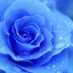 Raindrops on roses... @Emilie Claeys Claeys Claeys Claeys Calleja the blue rose of forgetfulness!