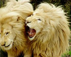 Lion 1: I am the king of the world! Lion 2: no you are not, we all are. in our very own kingdom.