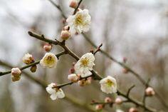 Arbres-DWblog : Prunus mume, l'Abricotier du Japon