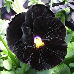 Pansy (Viola x Wittrockiana Clear Crystals Black) - Fill an entire flower bed with Pansies for a striking effect! Grown from Pansy seeds, these black Pansy flowers are an effective attention getter. P