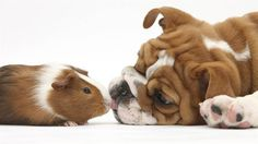 This remind me of my guinea pig, Moe, and my dog, Annie! Moe loved her!!