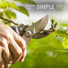 More Fruit for Your Labor: Prune and Protect Fruit Trees, Grapes and Berries Now Aquaponics Plants, Aquaponics System, Aquaponics Greenhouse, Tree Lopping, Prune Fruit, Garden Maintenance, Tree Care, Growing Grapes, Garden Club
