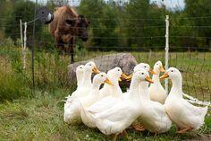Состав корма для уток и гусей должен обеспечивать полноценное питание в зависимости от возраста. Рацион кормления включает жмых, шрот, зеленую массу и т.д. -