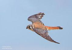 Here is list types of falcons. Raptor Bird Of Prey, Birds Of Prey, Falcon Tattoo, Tree Tat, American Kestrel, Storks, Wild Creatures, Colorful Birds, Raptors