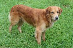 Abandoned Animal Rescue Lost / Found Blog: FOUND - Male Golden ...